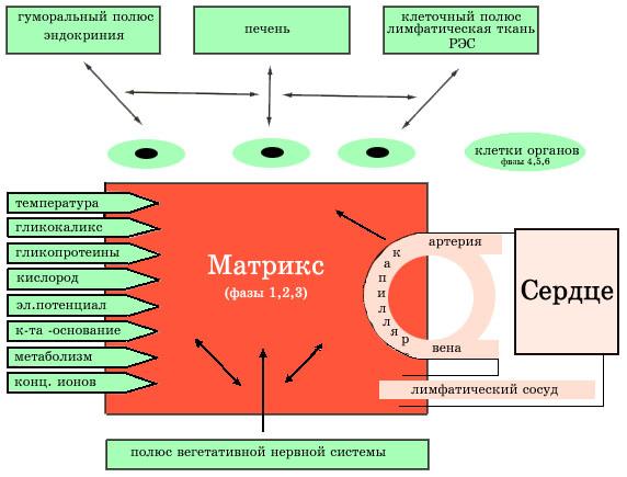 Концепция гомотоксикологии Х.Х.Реккевега