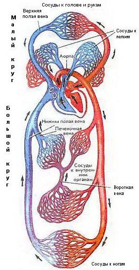Малый и Большой круги кровообращения.